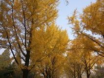 jesień brzoz liść łąkowi pomarańczowi drzewa Fotografia Royalty Free