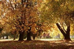 jesień brzoz liść łąkowi pomarańczowi drzewa Zdjęcia Royalty Free