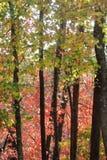 jesień brzoz liść łąkowi pomarańczowi drzewa Zdjęcia Stock