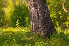 jesień brzozy gałąź barwiący liść drzewny bagażnik Obrazy Stock