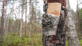jesień brzozy gałąź barwiący liść drzewny bagażnik Zdjęcie Stock