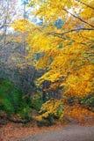 jesień bukowego kolorowego spadek lasowi złoci drzewa Obraz Royalty Free