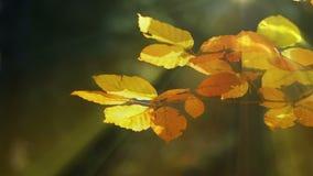 Jesień buku liście i słońce promienie zbiory