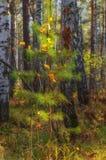 jesień cisawy dekoraci winogron Październik granatowa drewno Obraz Stock