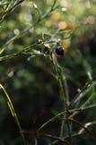 jesień czarnej jagody słońce Obraz Royalty Free
