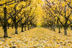 Jesień Czereśniowy sad Zdjęcia Stock