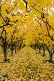 Jesień Czereśniowy sad Zdjęcie Royalty Free