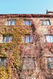 jesień czerwona tematu winogradu ściana dzika Obraz Royalty Free