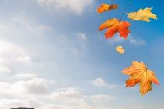 Jesień czerwonego żółtego prostego klonu spada liście nad miastem na b Fotografia Stock