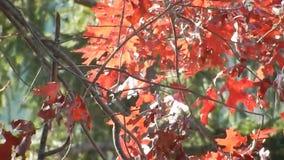 Jesień Czerwonego dębu liście, Zielony Płaczący cedr na Płaski Wierzchołek jeziorze WV zbiory wideo