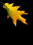 Jesień czerwony Dębowy Liść Zdjęcie Stock