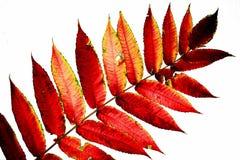 Jesień czerwony duży stary urlop na bielu Obrazy Stock
