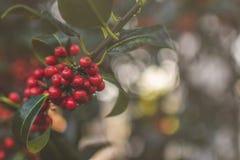Jesień czerwony głogowy bukiet makro- Fotografia Royalty Free