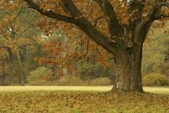 jesień dąb Obraz Royalty Free