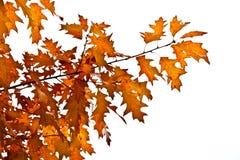 Jesień dębu liście obraz royalty free