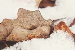 Jesień dębu liście na śniegu Obraz Stock