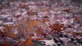 Jesień dębu liście na Zmielonym tle zbiory wideo