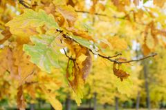 Jesień dębu naturalni liście na drzewach Zdjęcie Royalty Free