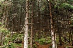 Jesień iglasty lasowy widok po środku lasowego Morske Oko, Polska, Europa fotografia stock