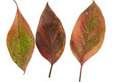 Jesień jaskrawi liście Obraz Royalty Free