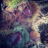 Jesień kasztanu las obraz stock