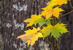 Jesień klon rozgałęzia się i liście, wioska dom n Zdjęcie Stock