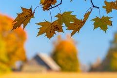 Jesień klon rozgałęzia się i liście, wioska dom n Obrazy Stock