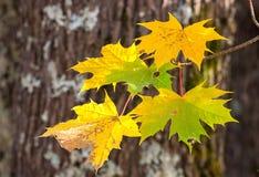 Jesień klon rozgałęzia się i liście, wioska dom n Fotografia Royalty Free