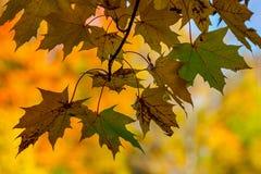 Jesień klon rozgałęzia się i liście, wioska dom n Zdjęcia Stock