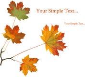 jesień klona czerwień liści Zdjęcia Royalty Free