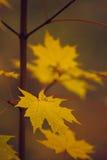 Jesień klonu gałąź Zdjęcia Royalty Free