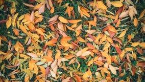 Jesień Kolorów żółtych liście na zielonej trawie Zdjęcie Royalty Free