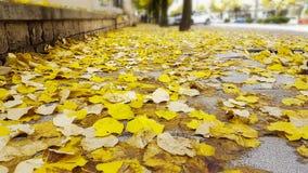 Jesień kolor żółty opuszcza drogowego topolowego drzewa Zdjęcia Stock