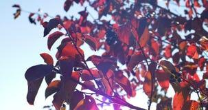 Jesień kolorowi liście na gałąź z bliska zdjęcie wideo