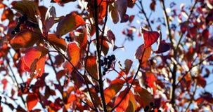 Jesień kolorowi liście na gałąź z bliska zbiory