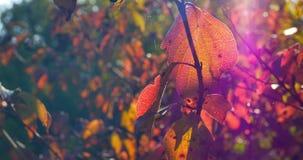 Jesień kolorowi liście na gałąź z bliska zbiory wideo