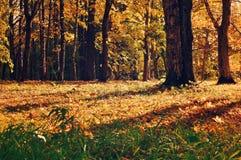 Jesień kolorowy krajobraz z yellowed jesieni drzewami przy zmierzchu zmierzchu jesieni widokiem yellowed jesień las Zdjęcie Royalty Free