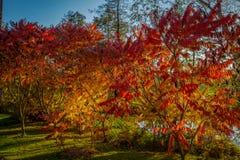 Jesień koloru żółtego i czerwieni rowan kolorowy drzewo w zielonej trawie blisko Hamry nad Sazavou, republika czech zdjęcie royalty free