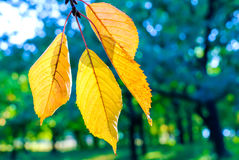 Jesień koloru żółtego liście Zdjęcia Stock