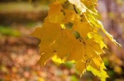 Jesień koloru żółtego liście na drzewie Obrazy Royalty Free