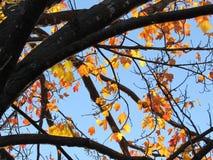 Jesień koloru Klonowe gałąź Przeciw niebieskiemu niebu Zdjęcia Royalty Free
