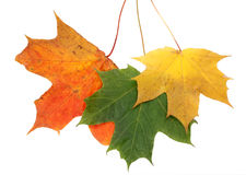 jesień koloru liść Obrazy Royalty Free