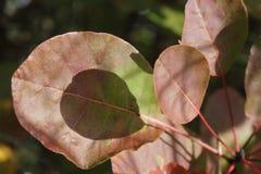 Jesień koloru liście cotinus coggygria, Dymny Bush zdjęcia stock