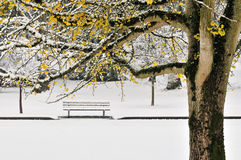 jesień koloru pierwszy ginkgo śnieżna drzewna zima Obraz Stock