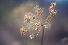 Jesień kolory Wysuszony - out zasadza świerząbka las w jesieni świateł kolorach i makro- strzałach Zmierzch łąki tło Zdjęcie Royalty Free