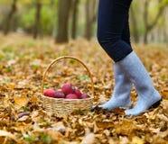 Jesień kraj - kobieta zbiera jabłka z łozinowym koszem zdjęcia stock