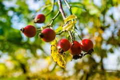 Jesień krajobraz, czerwieni róża Zdjęcie Royalty Free