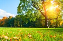 Jesień krajobraz Jesieni klonowy drzewo w pogodnym jesień parku zaświecał światłem słonecznym - jesieni drzewo w świetle słoneczn Fotografia Royalty Free
