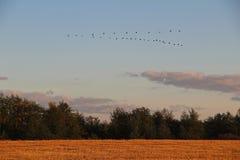 Jesień krajobraz Jesieni migracja pospolici żurawie południe fotografia royalty free