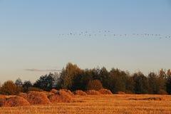 Jesień krajobraz Jesieni migracja pospolici żurawie południe obrazy stock
